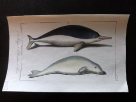 Lacepede & Oudart C1830 Hand Col Fish Print. Beluga Whale, Dolphin 15